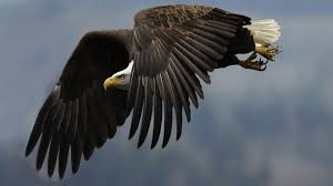 strange eagle wallpapers images of eagle wallpapers hd download sc