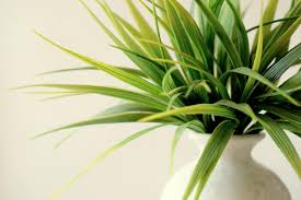 volatile organic compounds emanating from indoor ornamental plants