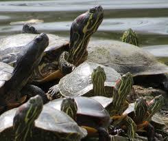 Texas Map Turtle Turtles Backyard And Beyond Page 3