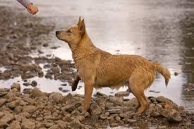 australian shepherd queensland heeler mix puppies things you didn u0027t know about the red heeler