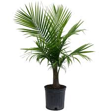 Fragrant Indoor House Plants Costa Farms Majesty Palm In 9 25 In Grower Pot 10maj The Home Depot