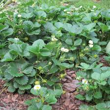 dig this helen yoest uses strawberries as a groundcover dig