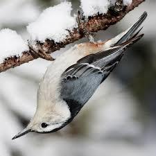list of birds of colorado wikipedia