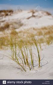 Florida Vegetaion images Grass flower dune stock photos grass flower dune stock images jpg