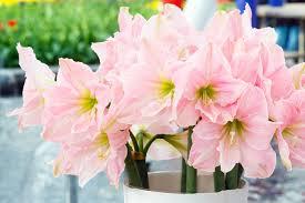 amaryllis flower amaryllis flower meaning flower meaning