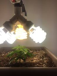 first time indoor grow crop king u0027s jack herer auto