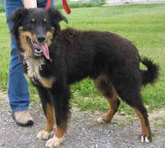 south carolina australian shepherd rescue national english shepherd rescue english shepherd dog rescue group