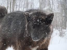 belgian sheepdog alberta wildlife u0026 nature loki u0027s gift