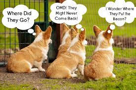 Corgi Puppy Meme - abandoned corgis waiting for bacon corgilicious