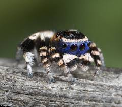 cute maratus personatus spider enchants internet with bizarre