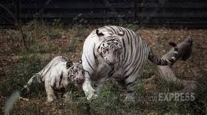 s white tiger safari opened for in madhya