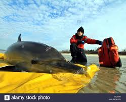 stranded common dolphins rescued on a cape cod beach in brewster