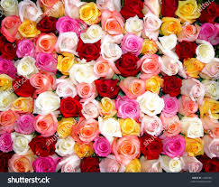 multi colored roses bunch multicolored roses packed tightly together stock photo