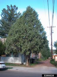 rocky mountain native plants rockymountainjuniper shape jpg