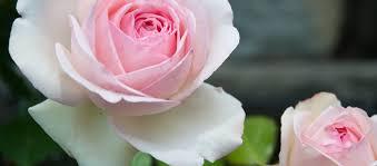 rose garden longwood gardens