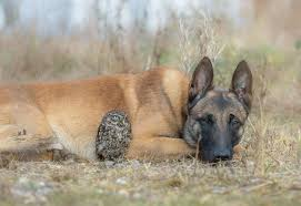 belgian shepherd owl friendship of a dog and an owl