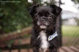 affenpinscher with underbite pets archives page 8 of 33 karinnewstrom com
