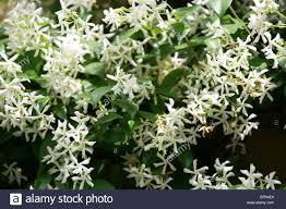 star jasmine trachelospermum jasminoides stock photos u0026 star