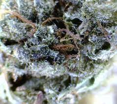 birthday cake kush seeds 119 00 cannabis culture shopping