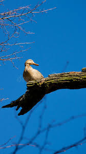 duck sitting on the tree branch stock photo image of