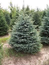 conifers evergreen trees available nursery tree types