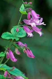 native plants ohio kentucky native plant and wildlife plant of the week penstemon