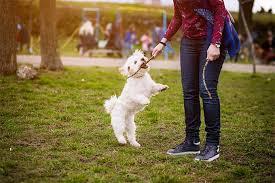 affenpinscher with underbite bichon frise dog breed information pictures characteristics
