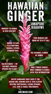 hawaii ginger maui plant of the month u0027awapuhi kuahiwi