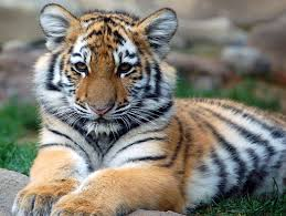 cutest wild animal in the world animal picture cute tiger cub
