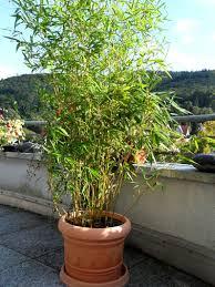 bambus als topfpflanzen balkon terasse2 jpg 378 504 garten - Topfpflanzen Balkon