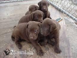 puppies indiana about me indiana fox labrador retrievers black lab puppies