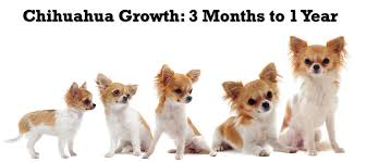 long hair chihuahua hair growth what to expect chihuahua puppy growth chart
