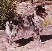 australian shepherd name origin australian shepherd history