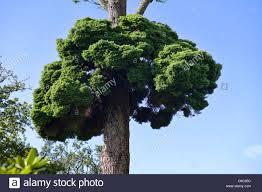 douglas fir tree specimen of witches broom growing on an douglas fir tree