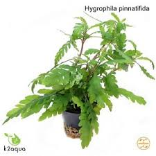 Aquascape Aquarium Plants Hygrophila Pinnatifida Live Aquarium Plants Java Fern Aquascaping