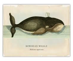 Qvc Home Decor Bowhead Whale Print Whale Art Coastal Living Nautical Life