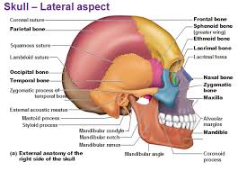 anatomy of skull ear heritance me