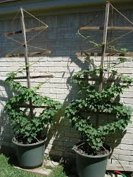 hops in pots
