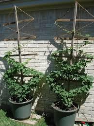 hops in pots first hop cones