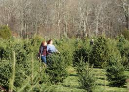 yetter christmas tree farm this is mystic ct