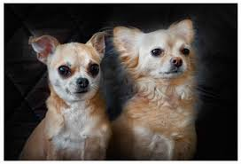 free images house animal canine pet portrait small dogs