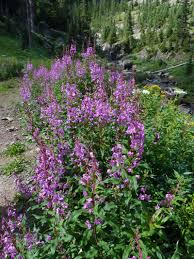 native plants of the northeast fireweed