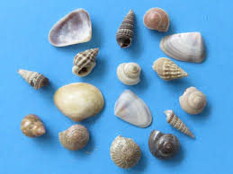 assorted seashells 1 inch india tiny assorted seashells for crafts wholesale