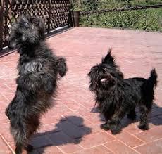affenpinscher near me affenpinscher dog lovers
