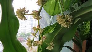 spider plants ubc botanical garden forums
