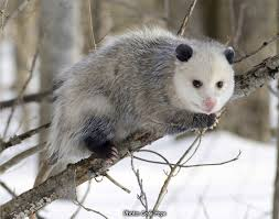 plants native to new york opossums of new york