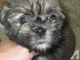 affenpinscher for sale ohio maltese affenpinscher pups for sale in dayton ohio classified