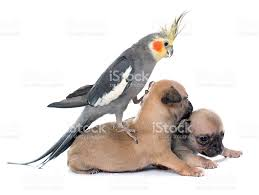 cartoon cockatiel young puppies chihuahua and cockatiel stock photo 501033428 istock