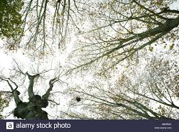 sparse tree canopy low angle view stock photo royalty free image