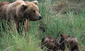 Are Bears Color Blind Brown Bear Species Wwf